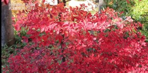 昭和記念公園 紅葉狩りの歩き方
